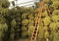 Marijuana Company of America Begins Harvest at its CBD Hemp Farm