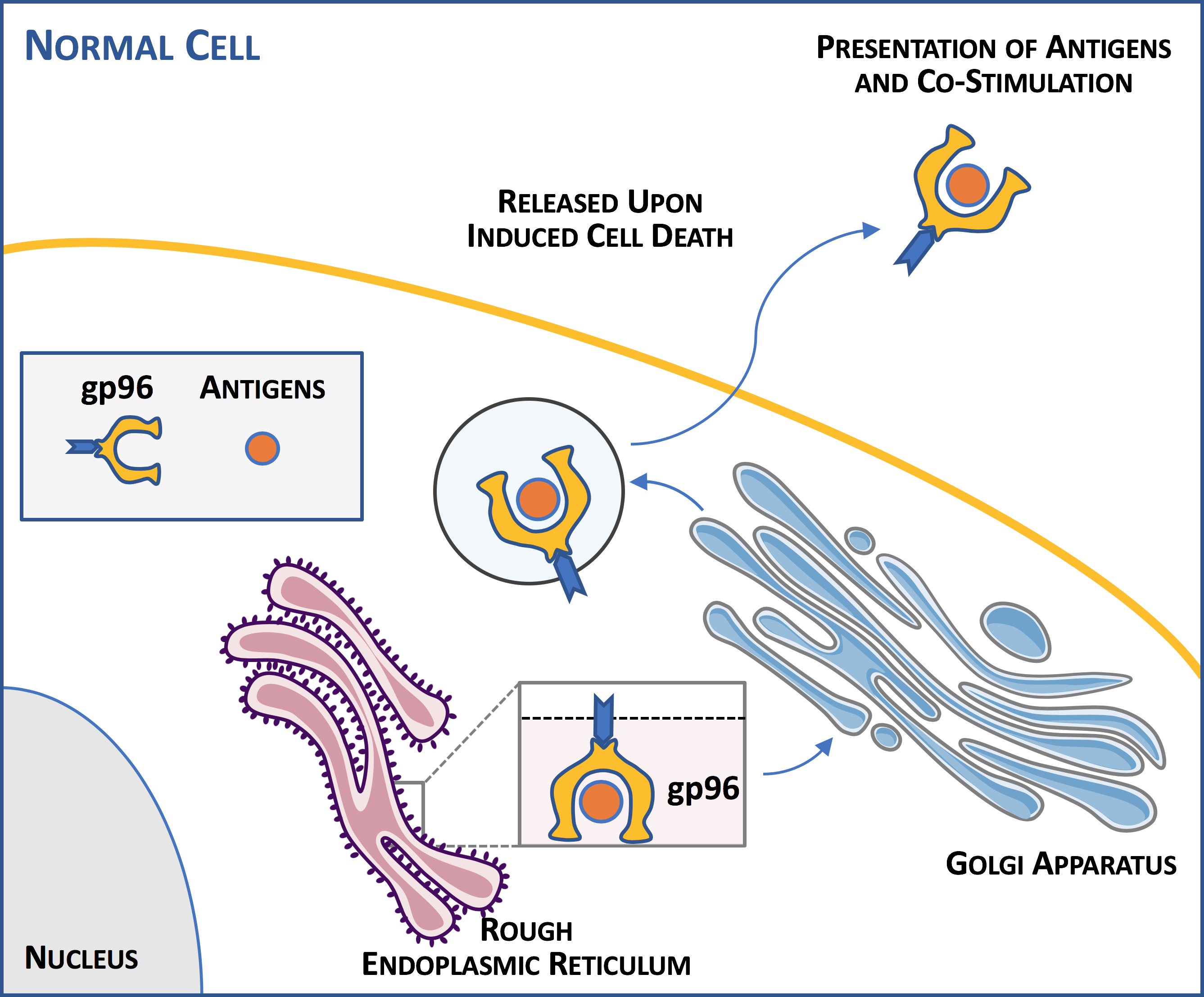 Activating the Immune System using gp96