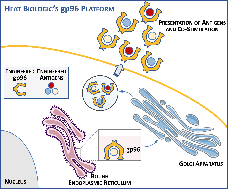 Heat Biologics' Proprietary gp96 Platform