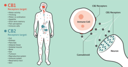 What is the Endocannabinoid System? – MediPharm Labs