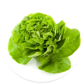 Living butterhead lettuce