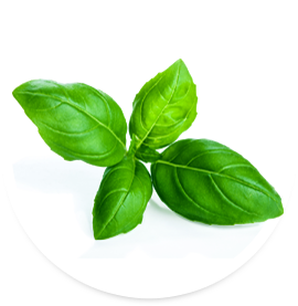Living Fresh Basil